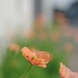 長実雛罌粟